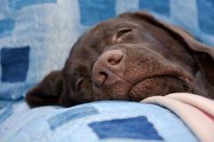 巧克力拉布拉多猎犬鼻子特写镜头 免版税库存图片