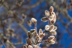 Ветви вербы Стоковая Фотография RF