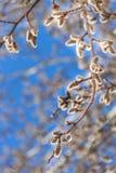Ветви вербы Стоковые Изображения RF