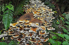 Пень дерева украшенный с колонией грибов вихора серы Стоковое Изображение RF