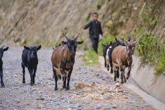 有山羊的年轻牧羊人 免版税库存图片