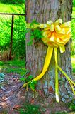 在槭树附近被栓的黄色丝带 免版税库存图片
