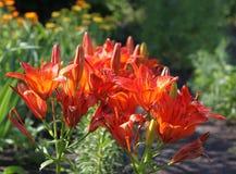 Красная лилия Стоковое Изображение RF