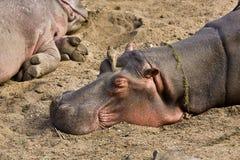 睡觉一匹野生的河马的画象,克鲁格,南非 免版税库存图片