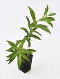柠檬马鞭草属植物厂新鲜的叶子 图库摄影