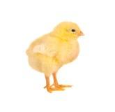 新出生的小鸡 免版税库存图片