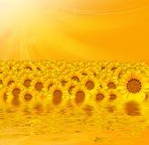 Желтые солнцецветы над желтой предпосылкой Стоковые Изображения