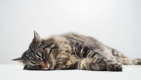 小睡懒惰的猫 库存照片