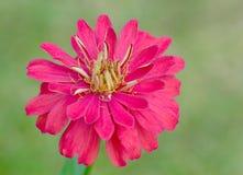 百日菊属花在庭院里 库存图片
