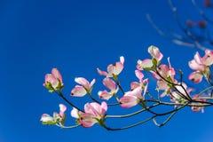 反对蓝天的山茱萸开花 免版税库存照片
