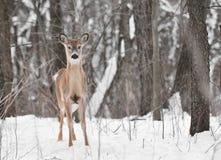 鹿多雪的被盯梢的空白森林 库存图片