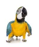 蓝色金刚鹦鹉黄色年轻人 库存照片