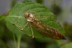 空的蜻蜓幼虫 库存照片