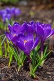 春天番红花 库存图片
