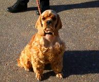 美国猎犬 库存图片