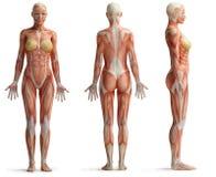 女性解剖学 免版税图库摄影