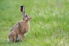 在狂放的野兔 库存照片