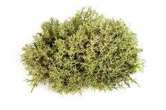 зеленый мох Стоковая Фотография