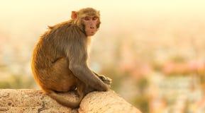 Обезьяна макаки на виске обезьяны захода солнца, Джайпуре Стоковые Фотографии RF