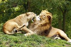 Λιοντάρι και τίγρη Στοκ Εικόνες
