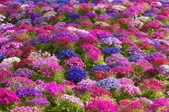 卖花人的瓜叶菊 免版税图库摄影