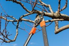 Подрезая дерево Стоковая Фотография RF