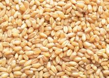 小米麦子 免版税图库摄影