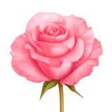 Διανυσματικός αυξήθηκε ρόδινη απεικόνιση λουλουδιών που απομονώθηκε στο λευκό Στοκ Φωτογραφίες
