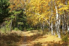 金子秋天风景-道路在一个混杂的森林里 库存照片