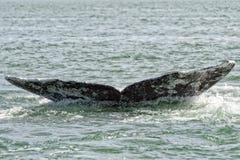 Кабель серого кита идя вниз в океан Стоковое фото RF