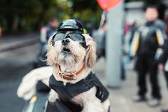 坚韧骑自行车的人狗 库存图片