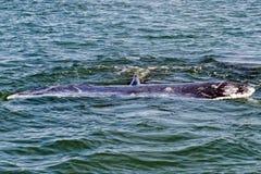 Кабель серого кита идя вниз в океан Стоковые Изображения