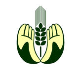 руки ушей держа пшеницу Стоковое Фото