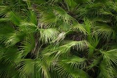 Взгляд конца-вверх зеленых лист пальмы Стоковые Изображения