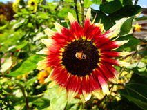 蜂本质夏天向日葵 库存图片