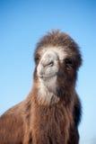 一头骆驼的头在蓝天背景的  集中于没有 图库摄影