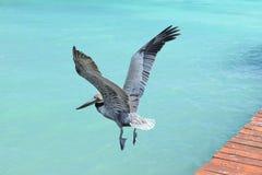 飞行在美丽的加勒比蓝色海的鹈鹕 免版税库存照片