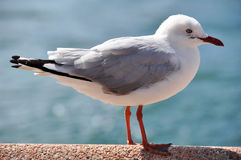 在男子气概的海滩的鸥或海鸥鸟在北新南威尔斯,澳大利亚 库存照片