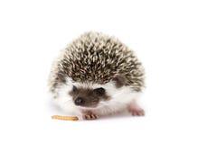 逗人喜爱和乐趣年轻啮齿目动物猬婴孩背景 库存图片