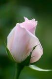 美丽的桃红色玫瑰用水在庭院里滴下 库存照片