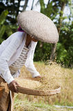 συγκομίζοντας ρύζι Στοκ φωτογραφία με δικαίωμα ελεύθερης χρήσης