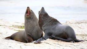 新西兰海狗 库存图片