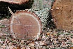 Спиленная древесина дуба ствола дерева Стоковое фото RF
