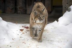 红色天猫座或美洲野猫 免版税图库摄影