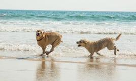 演奏二的狗 免版税库存图片