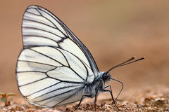 蝴蝶铺沙白色 库存照片