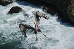 太平洋海岸鹈鹕 免版税库存照片