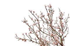 充分樱桃树在白色隔绝的花开花 免版税库存图片
