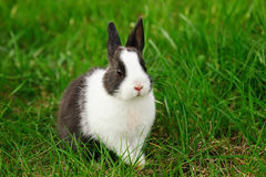 棉尾兔吃草的小兔在庭院里 免版税库存图片
