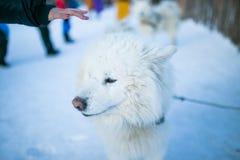 在雪的萨莫耶特人狗 免版税图库摄影